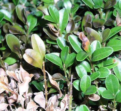 braune Blattverfärbung am Buchsbaum