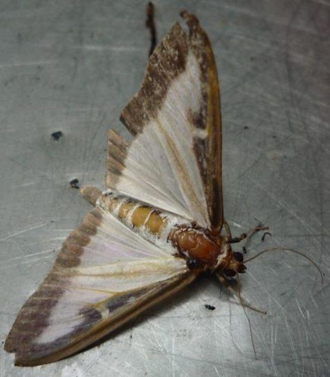 Der fertige Falter ist 4,5 cm groß, Grundfarbe weiß mit braunem Flügelrand und braunem Körper